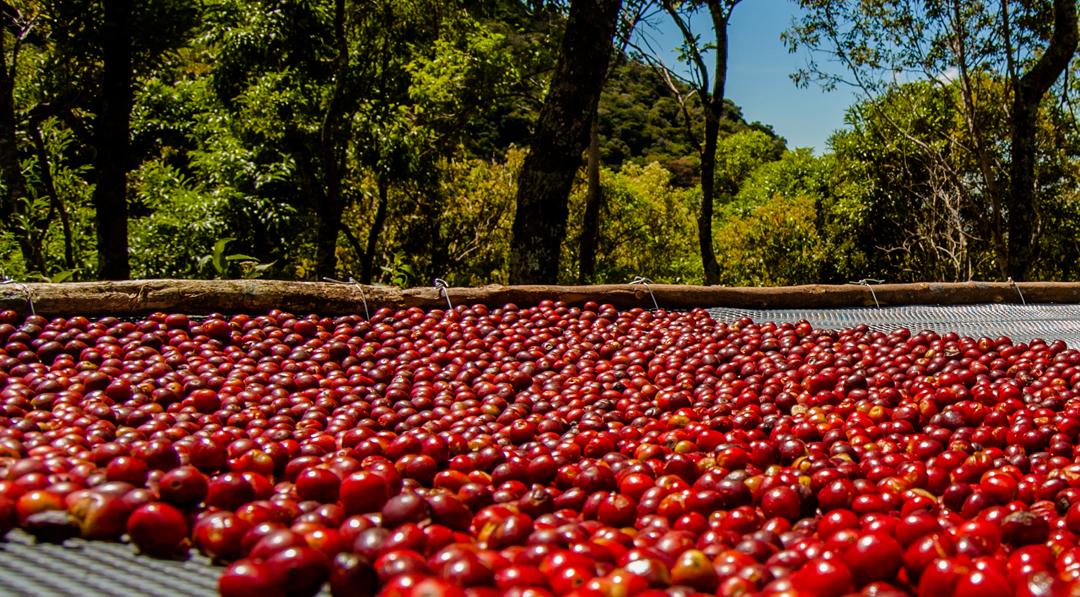 The Three Methods of Processing Geisha Coffee