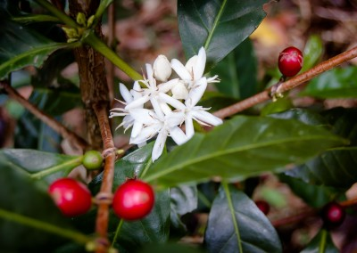 finca_deborah_volcan_coffeebeanharvest-29_1080px