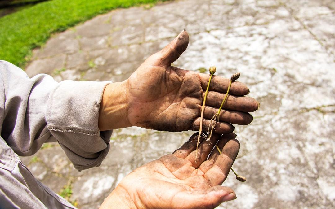 Planting Baby Geishas at Finca Deborah