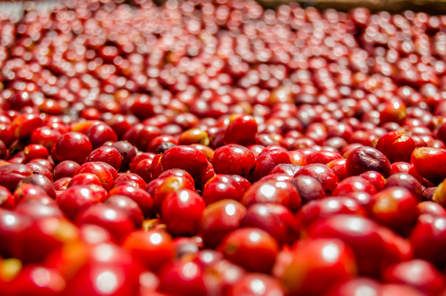 Finca Deborah Geisha is grown at extreme altitude where, due to the lower temperatures and the resulting slower growth, the coffee is allowed to fully develop its remarkably complex flavors and aromas.