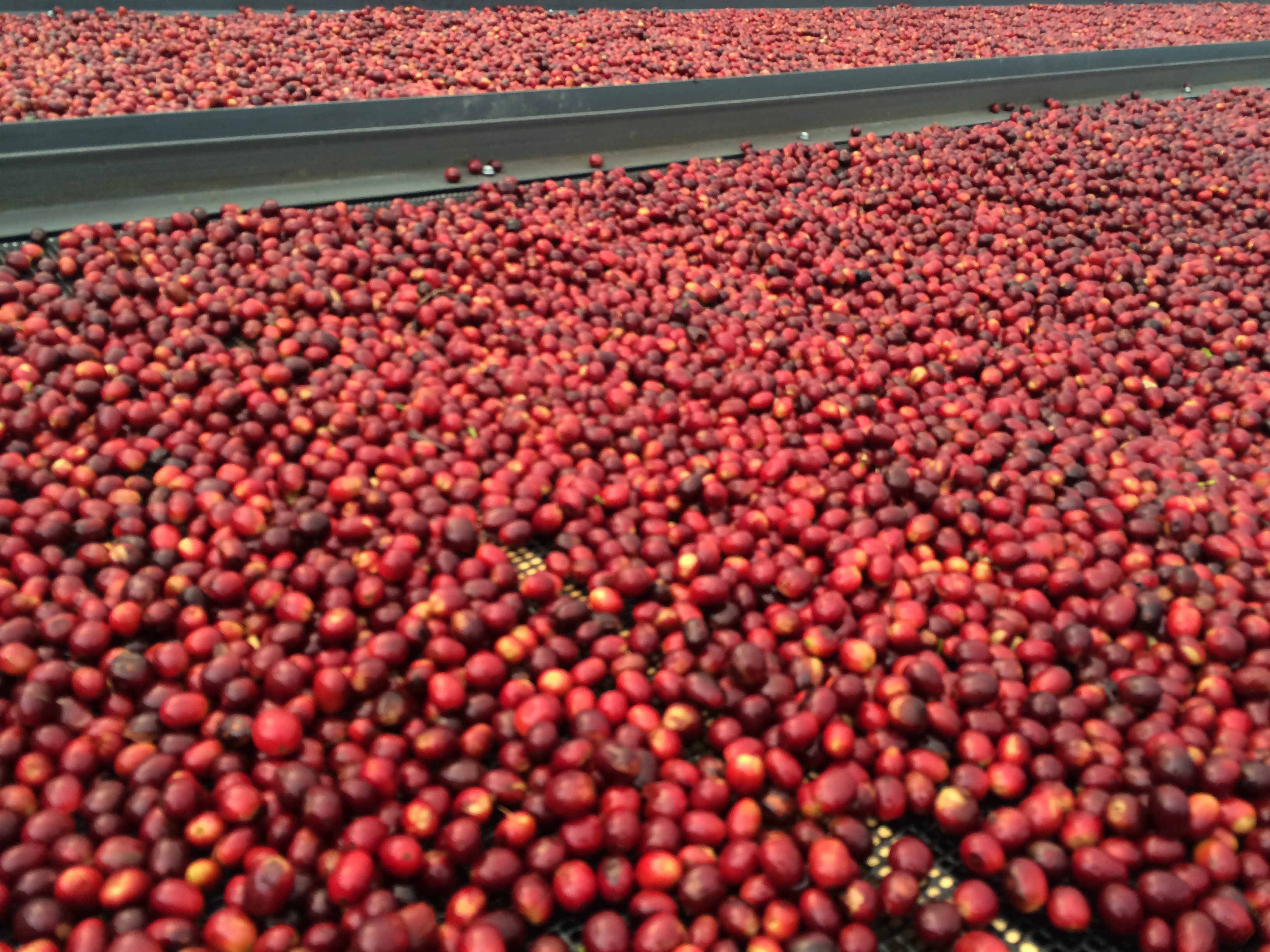 Fresh Geisha coffee berries drying at Finca Deborah in Panama.