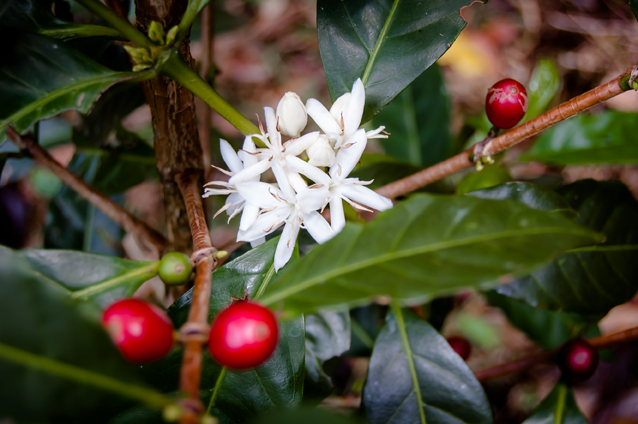 The Volcan region of Panama is an ideal coffee producing environment due to its high elevation and its rich, volcanic soil which is further enhanced by the correct balance of rain and sun in a tropical highland environment.